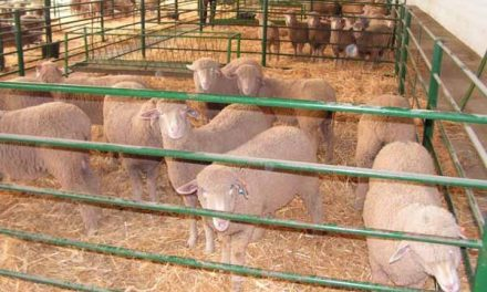 La XXVI Feria Agroganadera de Trujillo reunirá a 1.000 cabezas de ganado vacuno y ovino durante cuatro días