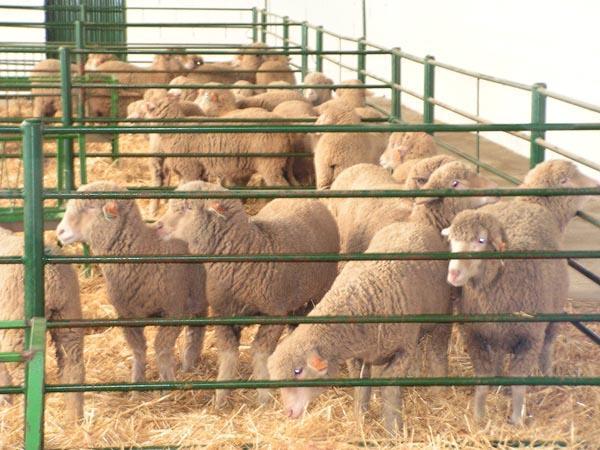 La ayuda por la lengua azul de 6 euros por animal para los ganaderos se percibirá antes de final de año