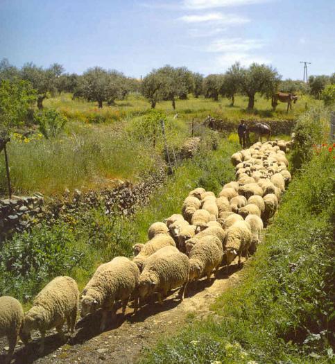 Extremadura recibe hoy mismo las primeras 360.000 vacunas contra la enfermedad de la lengua azul