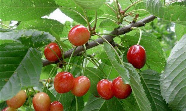 Ensayos de campo y muestreos para controlar plagas en el cultivo del cerezo