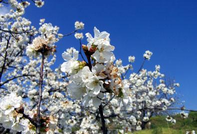 El Valle del Jerte acogerá este próximo día 18 de marzo la tradicional fiesta del cerezo en flor con visita de turistas