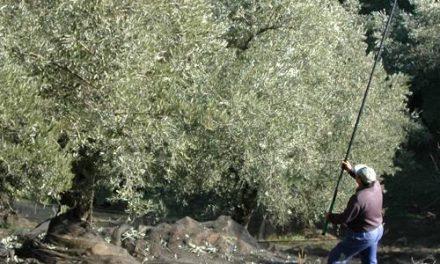 Ceder-Cáparra apela al cooperativismo para una buena comerzialización de la aceituna manzanilla