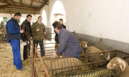 La Diputación de Cáceres entrega 128 cabezas de ganado merino precoz a 16 ganaderos de la provincia