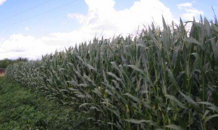 Montehermoso acoge hoy y mañana unas jornadas sobre nuevos métodos para el cultivo del maíz