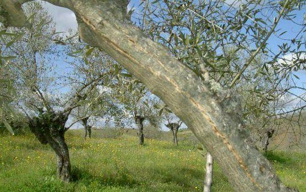 UPA-Uce pide la activación del almacenamiento privado de aceite de oliva para aliviar la situación del sector