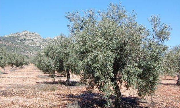 La climatología ha reducido un 17% la producción de aceituna de la cooperativa La Milagrosa de Monterrubio