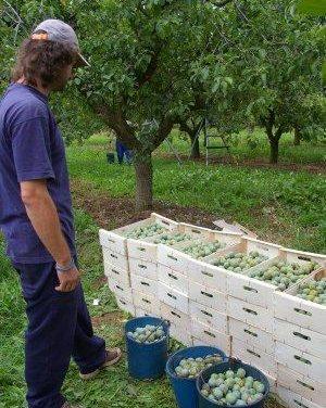 Arranca con optimismo la temporada de fruta en Extremadura previsión de recuperación de precios