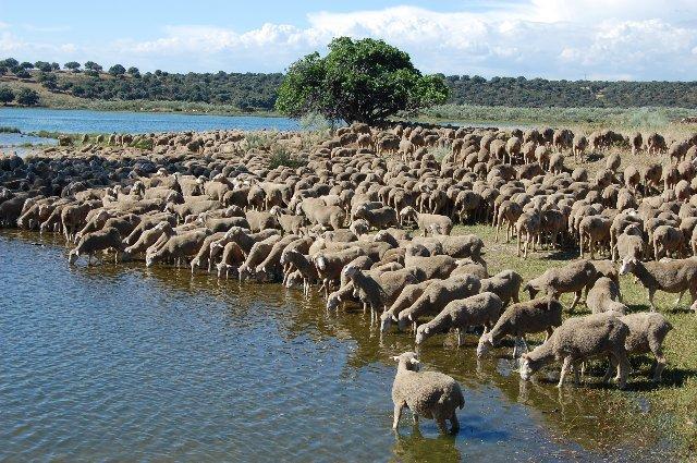 Llegan a Toledo las dos mil ovejas merinas de la DOP Queso de la Serena que trashuman a Burgos