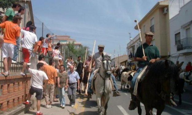 El traslado de los bueyes a caballo desde la finca hasta los corrales de Coria da el pistoletazo a San Juan 2010