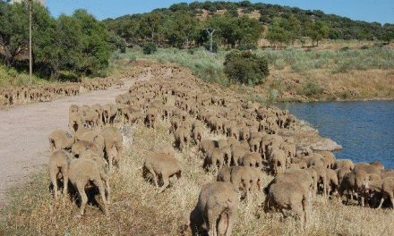 Dos mil ovejas merinas trashumantes de la DOP Queso de La Serena cruzan la ciudad de Ávila