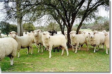 El Gobierno extremeño vacuna a 45.000 ovejas contra la enfermedad de la lengua azul