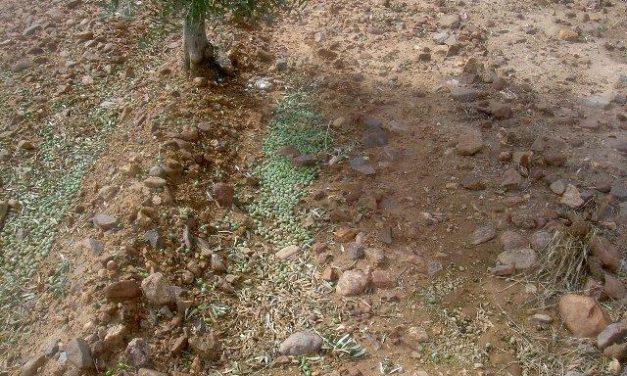 Un informe de La Milagrosa de Monterrubio estima un 80% las pérdidas de aceituna en determinadas zonas