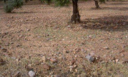 Apag Extremadura exige ayudas urgentes para el olivar dañado por el granizo en Monterrubio