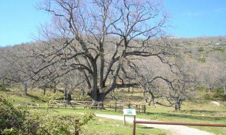 Un manual de buenas prácticas enseñará a los extremeños cómo cuidar los árboles antiguos del planeta