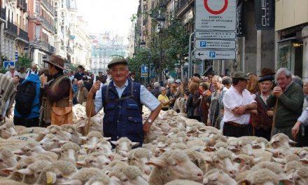Un rebaño de 600 ovejas merinas de la DOP Queso de la Serena trashumará a Madrid el 31 de octubre