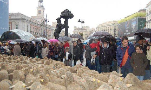 Las ovejas merinas de la Serena toman las calles de Madrid, pese a la lluvia, en la Fiesta de la Trashumancia