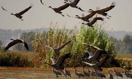 Cultura y Turismo potenciará la invernada de las grullas como potencial turístico de Extremadura
