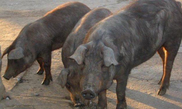 Greenpeace asegura que el 51 % de los cerdos de Extremadura procede de producción industrial
