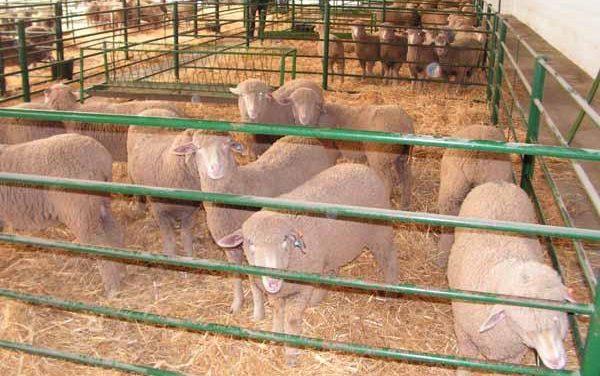 La Feria Agroganadera de Trujillo reunirá a más de 700 cabezas de ganado vacuno, ovino y caprino