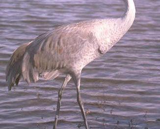 El II Festival de las Grullas de Extremadura promocionará la llegada de estas aves como recurso turístico