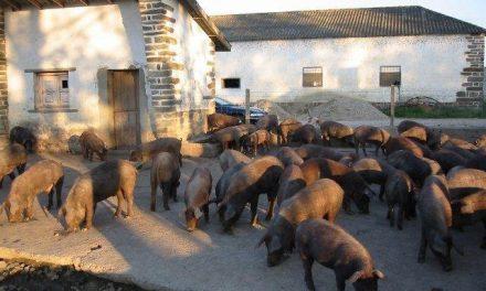 Extremadura lanza una campaña de control del mercado para evitar el fraude en el etiquetado del ibérico