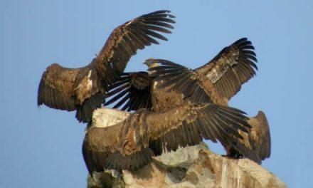 Adenex defiende la puesta en marcha de muladares para la conservación del buitre en el norte de Cáceres