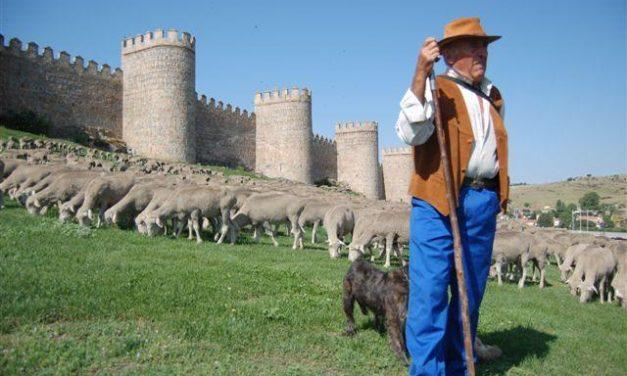 Premian al pastor que hizo la ruta trashumante más larga de Europa con 2.000 ovejas de la DOP Queso de la Serena