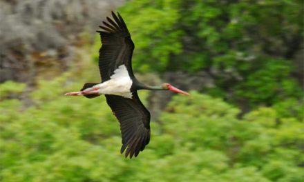 Las Hurdes ofrece en FIO un turismo ornitológico con especies como la cigüeña negra, águilas o halcones