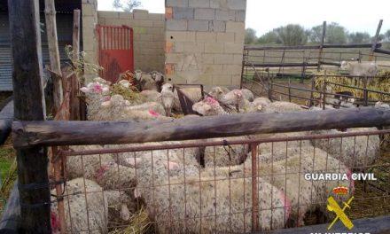 La Guardia Civil detiene a ocho personas implicadas en el robo de ovejas y corderos de Arroyo de San Servan
