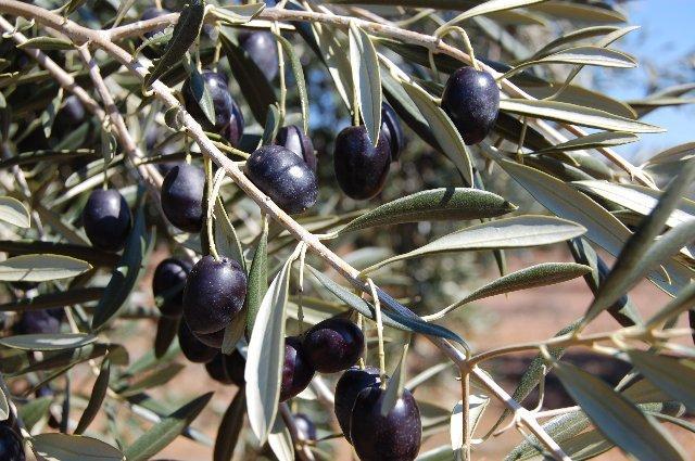 La Milagrosa de Monterrubio finaliza la campaña con la recolección de 6,3 millones de kilos de aceitunas