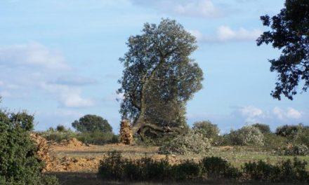 Montehermoso reforestará varias zonas verdes para compensar la tala de encinas de la dehesa