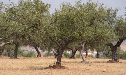 Las organizaciones agrarias de Extremadura piden a los olivareros que se manifiesten en Badajoz el próximo día 5