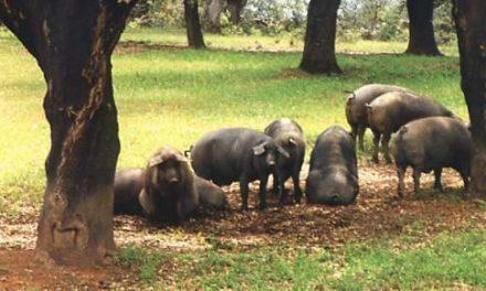 Establecidas las medidas sanitarias para la detección precoz de las enfermedades del ganado porcino
