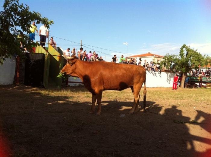 Cientos de aficionados participan en el primer encierro ecuestre con mansos en La Moheda