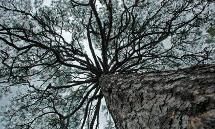 El Observatorio de Árboles Singulares alerta que cada año desaparecen 14 millones de hectáreas de bosque