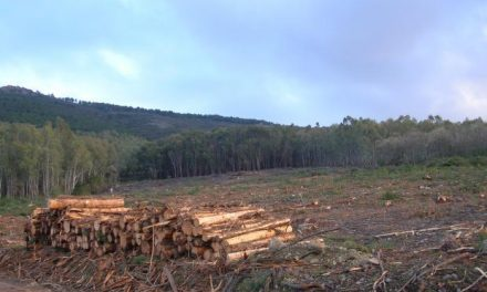 El nematodo de la madera del pino se encuentra bajo control aunque continúan las inspecciones del Seprona