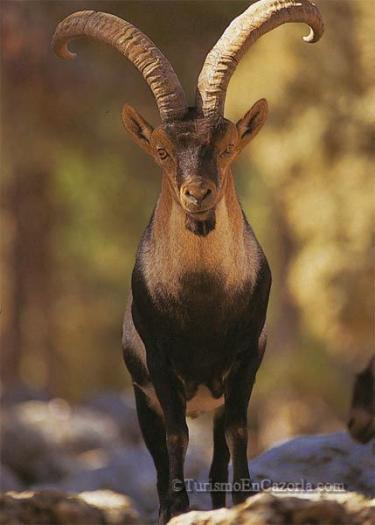 Denunciados tres cazadores furtivos por abatir a un macho montés en la Garganta de los Infiernos