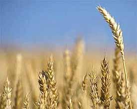 Las cooperativas  estiman una cosecha de cereales que alcanzará el millón de toneladas en la región