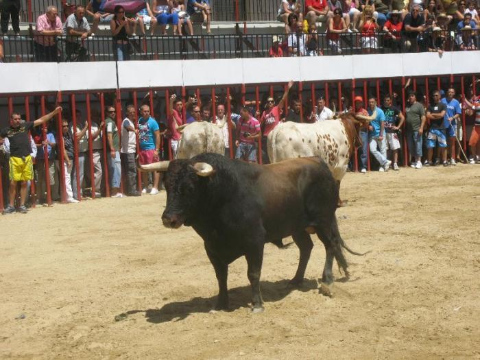 El toro Letargo, de la peña San Sacabó, demora el último encierro de Moraleja hasta los casi 12 minutos