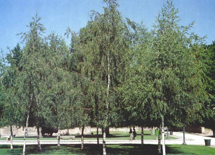 Cinco especies de árboles, como el tejo y el abedul, se encuentran en peligro de extinción en Extremadura