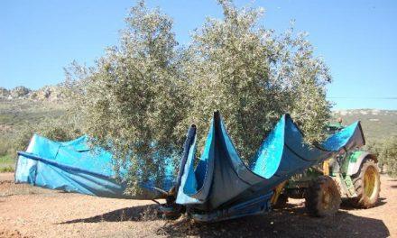 La Milagrosa de Monterrubio prevé recolectar 5,8 millones de kilos de aceitunas la próxima campaña