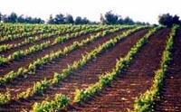 """UPA-Uce denuncia que en Extremadura se paga un """"precio menor"""" por la uva que en otras regiones"""