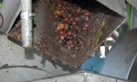 La Milagrosa de Monterrubio modernizará sus instalaciones con dos tolvas de 50.000 kilos de aceitunas