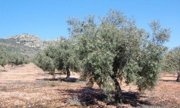 La Junta fumiga más de 312.000 olivos de La Milagrosa de Monterrubio para prevenir la mosca