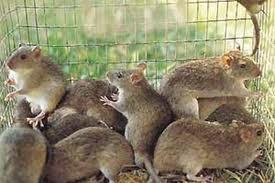 Un estudio realizado en Extremadura confirma que las ratas son un vector de transmisión de leptospirosis
