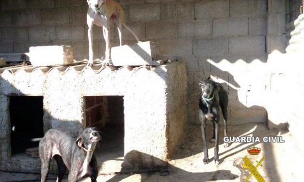 La Guardia Civil detiene a los presuntos autores del robo de cuatro perros galgos en Hornachos