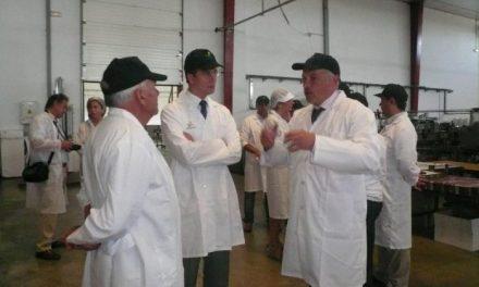 Acenorca prevé recoger unos 15 millones de kilos de aceituna de mesa en la presente campaña