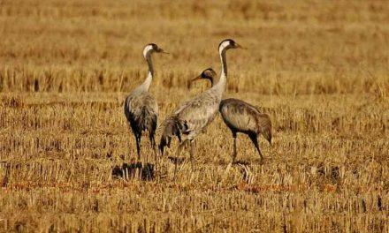 El embalse de Borbollón acoge durante tres meses actividades sobre las grullas y aves invernantes