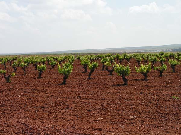 Extremadura recibe 16 millones de euros para reestructurar más de 2.100 hectáreas de viñedos