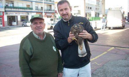 Andares rescata en Montehermoso un ejemplar de Busardo ratonero herido por una bala en el ala derecha